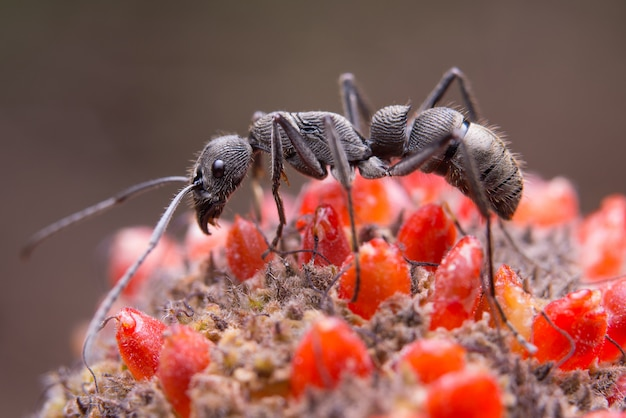 Formiga preta em flor Foto gratuita