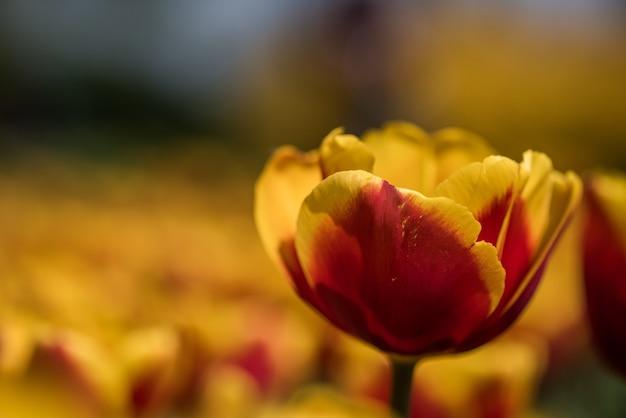 Foto com foco seletivo de uma linda tulipa amarela e vermelha com um fundo desfocado Foto gratuita