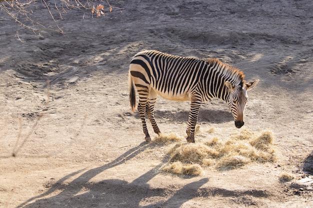 Foto de alto ângulo de uma zebra comendo feno em um zoológico Foto gratuita