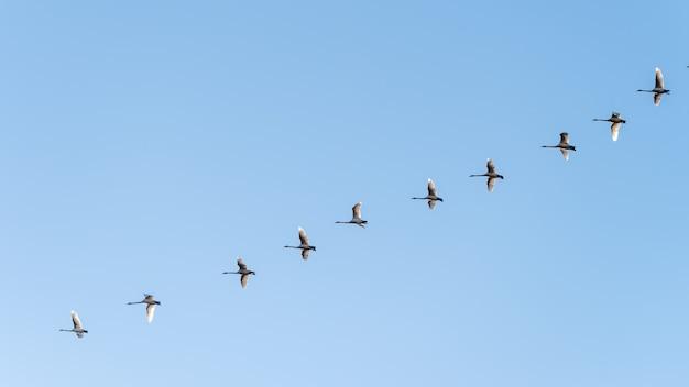 Foto de baixo ângulo de um bando de pássaros voando sob um céu azul claro Foto gratuita