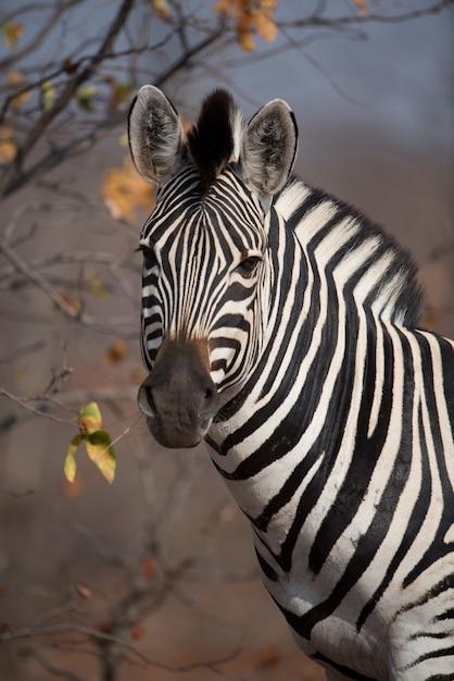 Foto de close de uma linda zebra Foto gratuita
