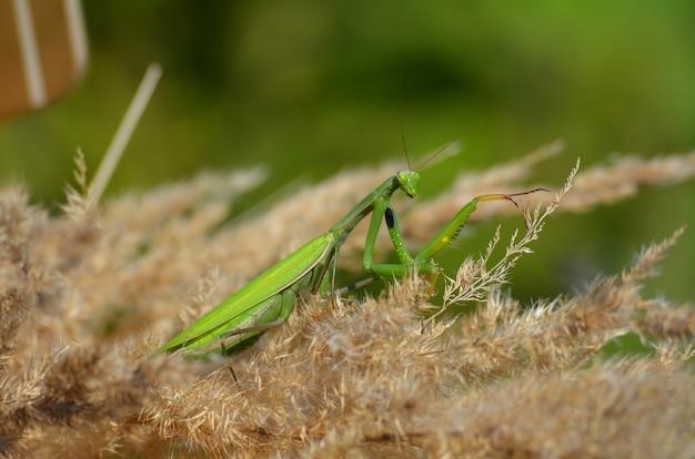 Foto de close-up de um louva-a-deus verde Foto Premium