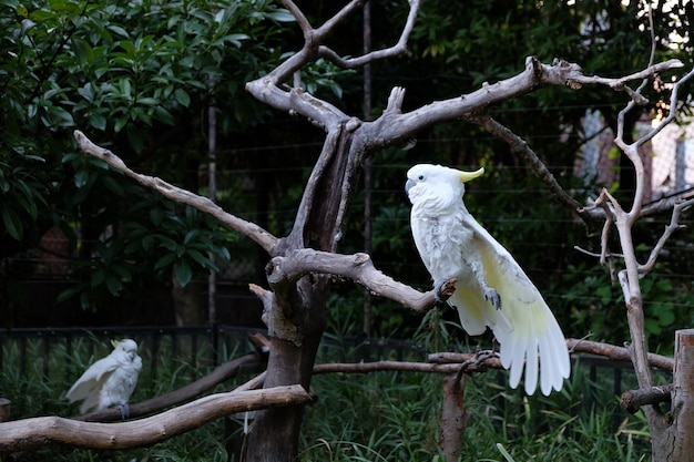 Foto de duas cacatua com crista de enxofre em galhos de árvore em um zoológico Foto gratuita