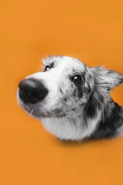 Foto de estúdio de cão bonito border collie Foto gratuita