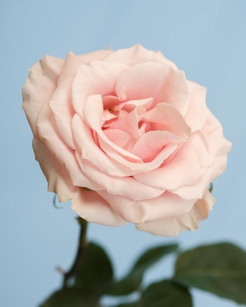 Foto de estúdio de rosa delicada Foto gratuita