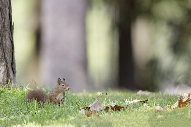 Foto de foco seletivo de esquilo-vermelho na floresta Foto gratuita