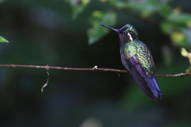 Foto de foco seletivo de um colibri verde-violeta empoleirado em um galho fino Foto gratuita