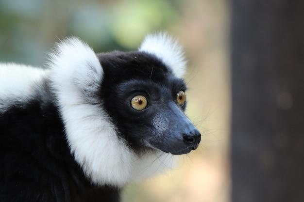 Foto de foco seletivo de um indri preto e branco (uma espécie de primata) Foto gratuita
