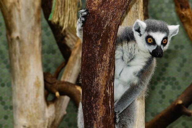 Foto de foco seletivo de um lêmure de cauda anelada se fixando em um galho de árvore com um fundo desfocado Foto gratuita