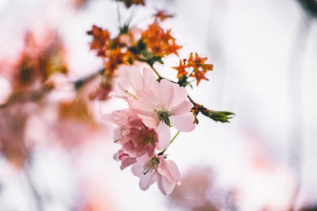 Foto de foco seletivo de um lindo galho com flores de cerejeira Foto gratuita
