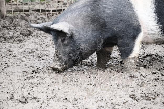 Foto de foco seletivo de um porco parado na lama Foto gratuita