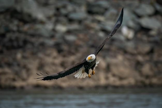 Foto de foco seletivo de uma águia careca voando sobre o rio susquehanna em maryland Foto gratuita