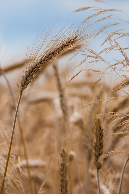 Foto de foco seletivo de uma safra de trigo no campo Foto gratuita