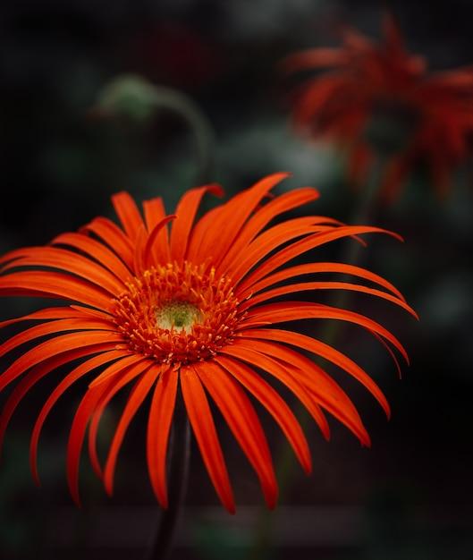Foto de foco seletivo vertical de uma magnífica flor de margarida de barberton em uma floresta Foto gratuita