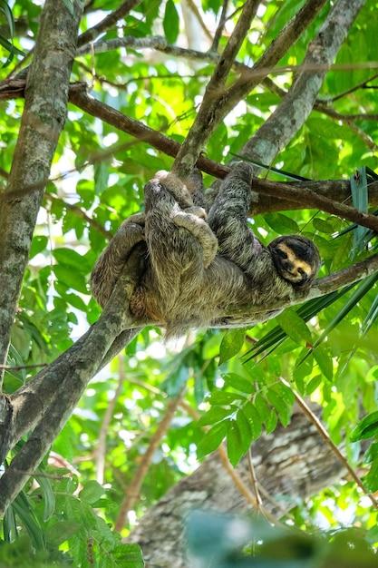 Foto de foco seletivo vertical de uma preguiça de três dedos feliz no meio da floresta Foto gratuita
