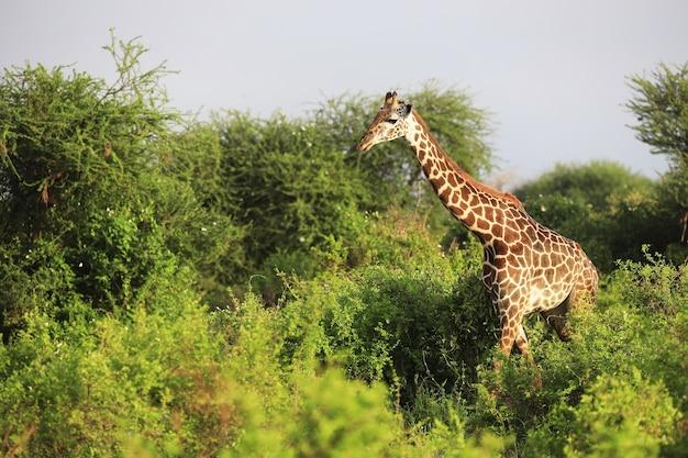 Foto de grande angular de uma girafa masai ao lado de árvores no parque nacional tsavo east, quênia, áfrica Foto gratuita