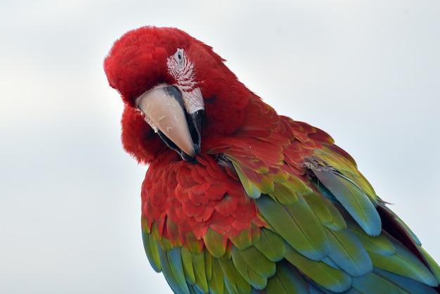 Foto de perto de papagaios arara Foto Premium