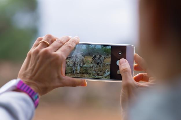 Foto de turista tomada com smartphone rebanho de zebras no mato. safari da vida selvagem no parque nacional kruger, destino de viagem na áfrica do sul. Foto Premium
