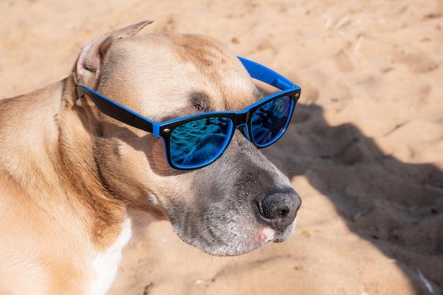Foto de um pitbull em óculos de sol. Foto Premium