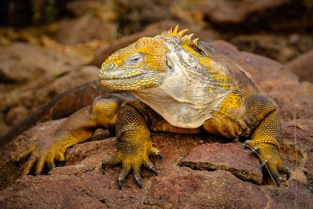 Foto de uma iguana amarela apoiada em uma rocha Foto gratuita