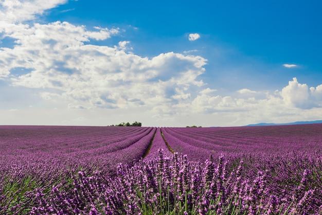 Foto horizontal de um campo de lindas flores roxas de lavanda inglesa sob um céu nublado colorido Foto gratuita