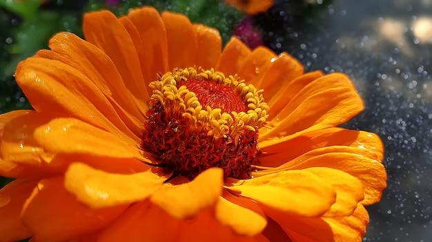 Foto macro da cabeça flor zinnia Foto Premium