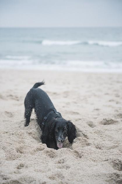 Foto vertical de um cão spaniel preto fofo brincando com areia na praia Foto gratuita