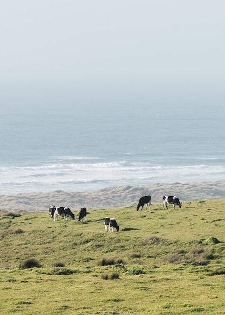 Foto vertical de vacas pastando em um campo na costa do oceano Foto gratuita