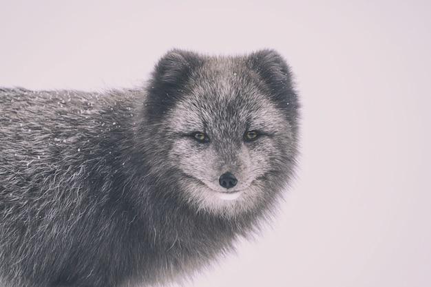 Fotografia de lobo com foco seletivo Foto gratuita