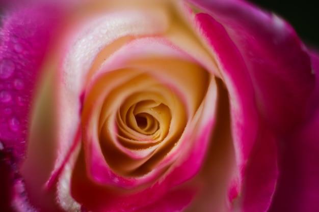 Fotografia de macro rosa, pétalas de flores close-up, fundo floral Foto Premium
