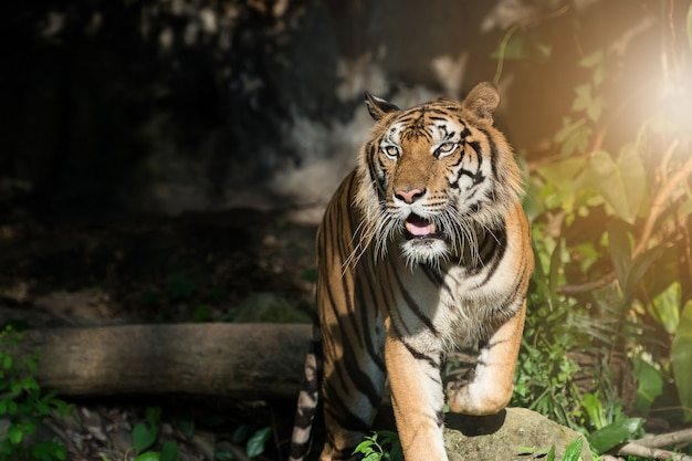Fotos de tigre naturalmente. Foto Premium