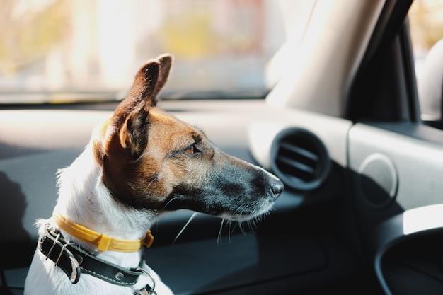 Fox terrier sentado em um carro e esperando por seu dono. o conceito de transportar animais de estimação no carro, viajar com cães no carro e deixar o cachorro sozinho dentro do veículo Foto Premium