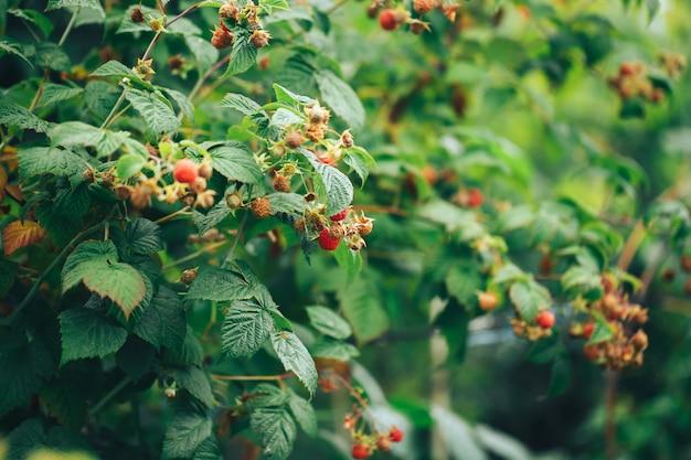 Framboesas maduras penduradas em um grande arbusto, comida vegetariana, comida orgânica, comida natural. Foto Premium