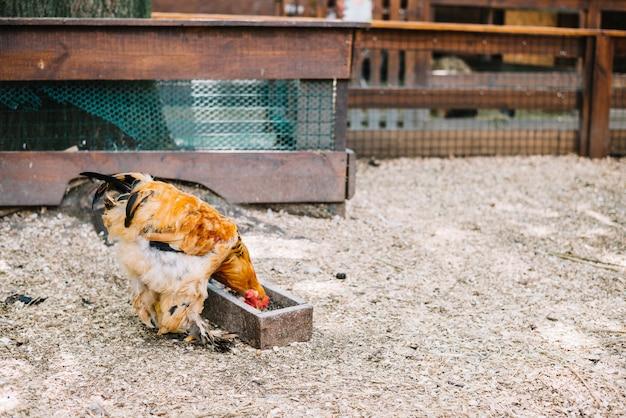 Frango comer grãos na fazenda Foto gratuita