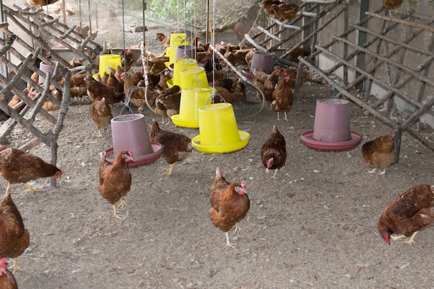 Frango no galinheiro. Foto Premium