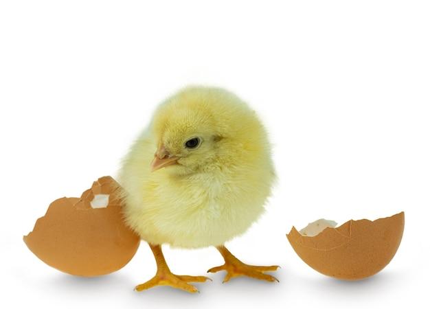 Frango saindo de ovo e casca de ovo Foto Premium