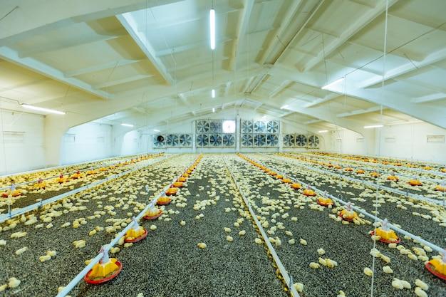 Frangos pequenos na moderna avicultura. pintainhos amarelos pequenos na exploração agrícola próxima, temperatura e controle da luz. Foto Premium