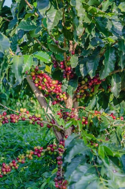 Fruta de café pendurado na árvore Foto Premium