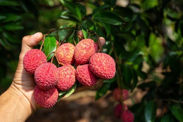 Fruta de lichia Foto gratuita