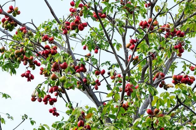 Fruta fresca de ervas de plantas samrong para curar o corpo. Foto Premium