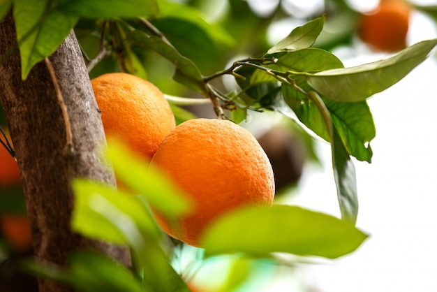 Fruta laranja nas árvores Foto Premium