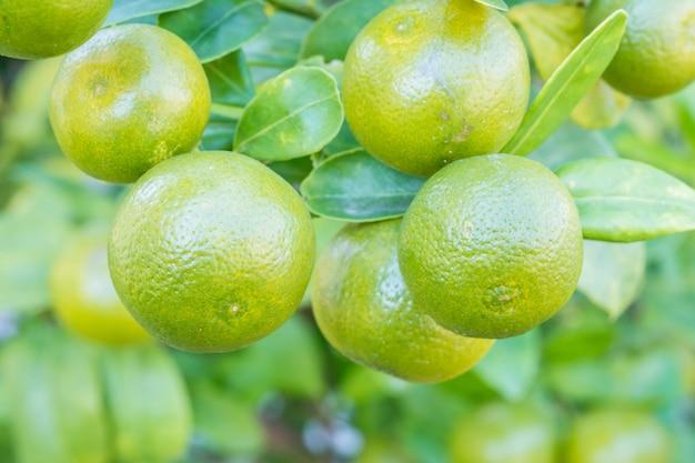 Frutas frescas de laranja no jardim Foto Premium