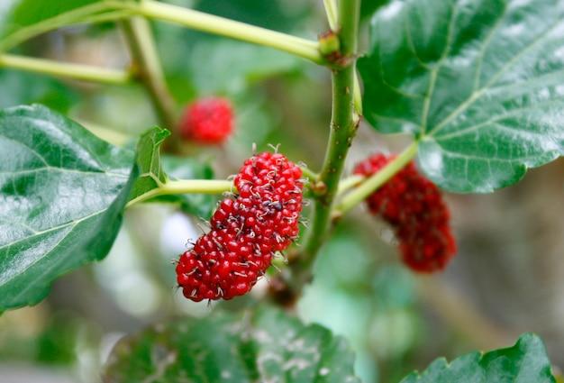 Frutos de baga na natureza, galho de amoreira Foto Premium