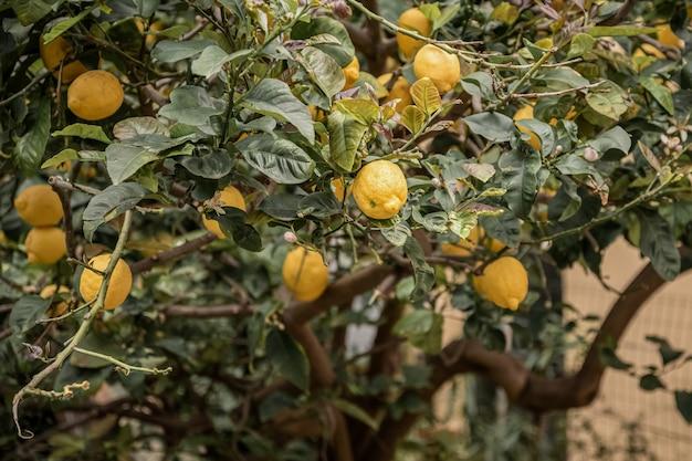 Frutos maduros de limão entre as folhas verdes da árvore no pomar de citros Foto Premium