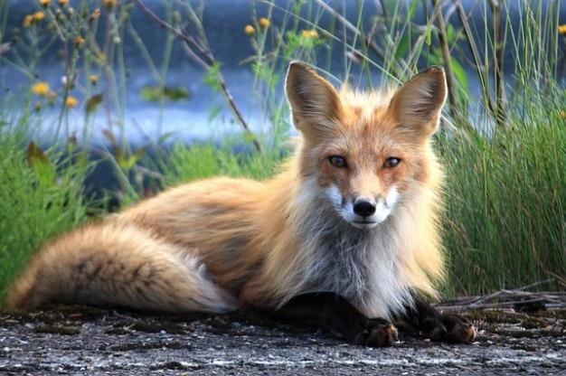 Fuchs perce canadá quebec Foto gratuita