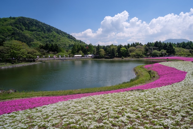 Fuji shibazakura ou festival de musgo rosa na prefeitura de yaminashi Foto Premium
