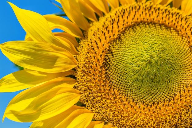Fundo amarelo girassol Foto Premium