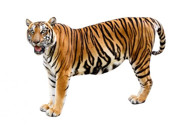 Fundo branco de tigre isolar o corpo inteiro Foto Premium
