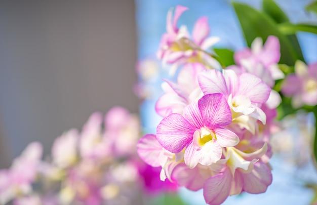 Fundo da natureza da flor, fim acima da flor das orquídeas. Foto Premium
