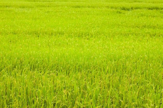 Fundo de arroz arrozal em fazenda de grama de luz do sol em ayutthaya, tailândia Foto Premium